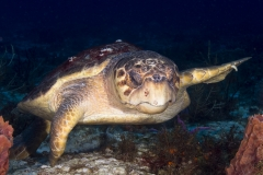 Loggerhead Turtle on reef in Cozumel