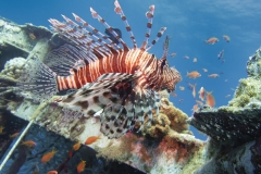 Lionfish on the Satil wreck in Eilat