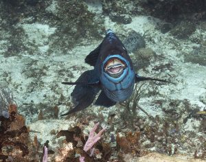 Midnight Parottfish, Cozumel, Underwater photography