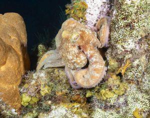 Octopus, night dive, Cozumel