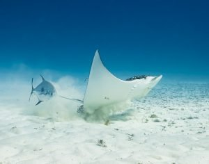 Spotted Eagle Ray, Cozumel, Underwater photography